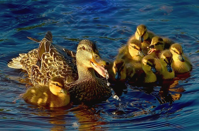 Duck Facts for Kids | Cool Kid Facts