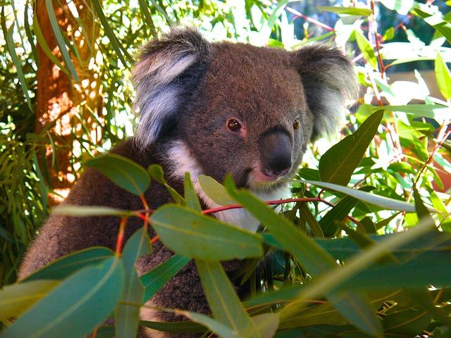 koala bears eucalyptus leaves