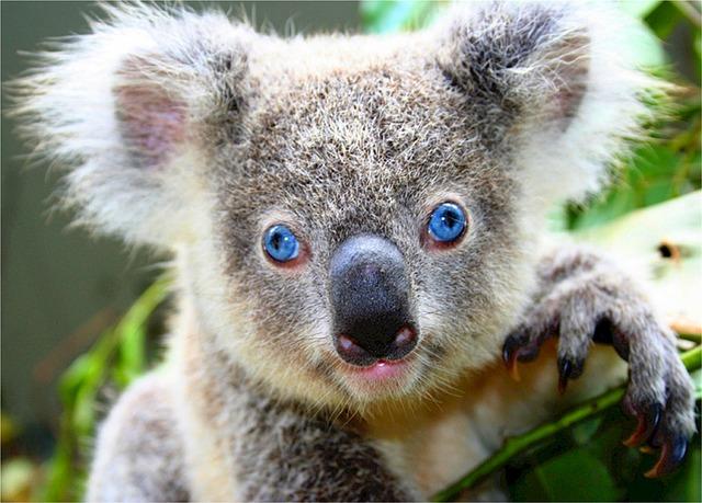 Koala Bear Facts  Cool Kid Facts