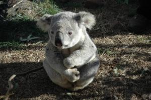 koala bears like teddy bears