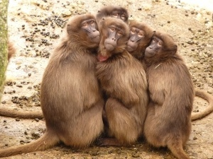 monkeys in a group
