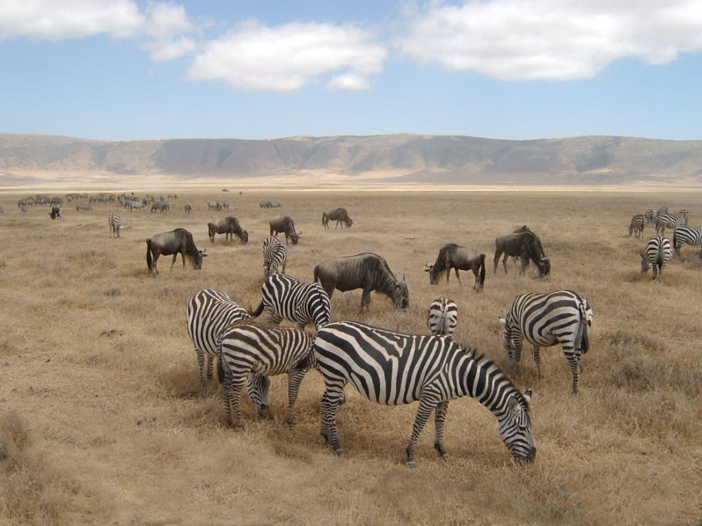 Zebras-wildebeest