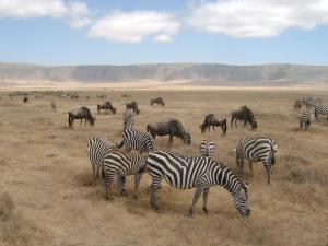 Zebras_and_Wildebeest