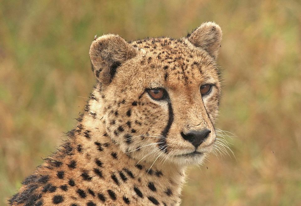 Cheetah adaptations - photo#18
