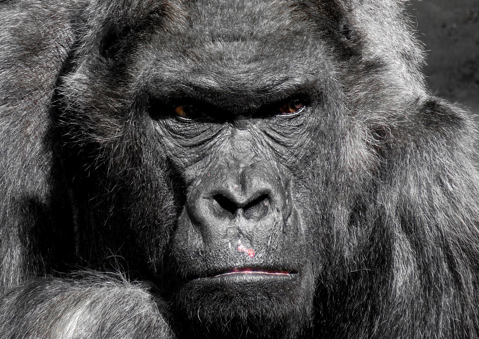 Gorilla Facts | Cool Kid Facts