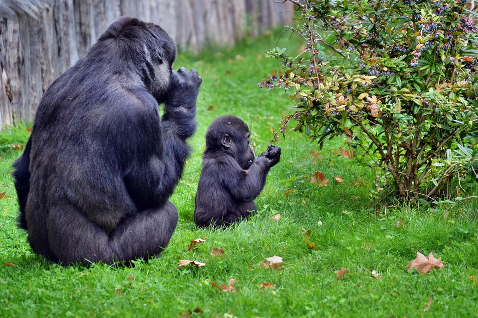 how big do gorillas get