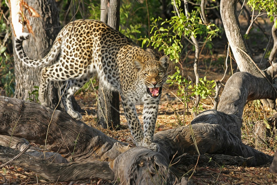 leopards lone animals