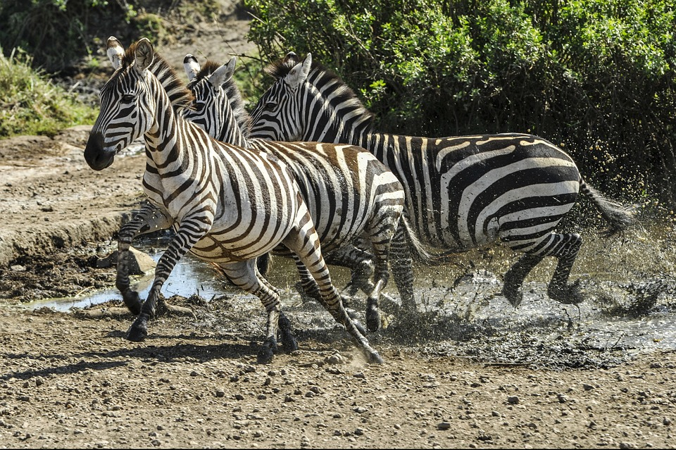zebras running from predator - photo #24