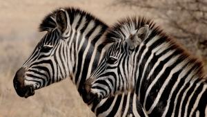 zebras together in groups