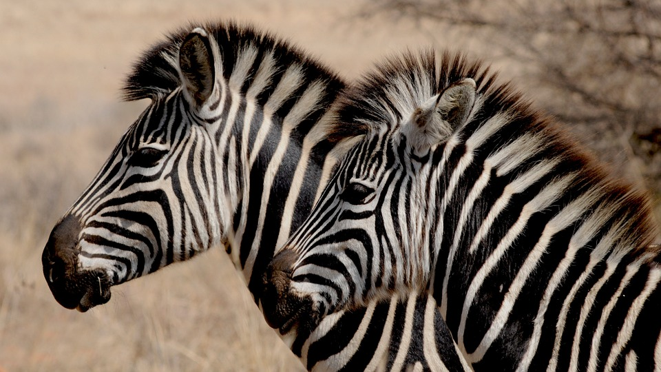 zebras together in groups