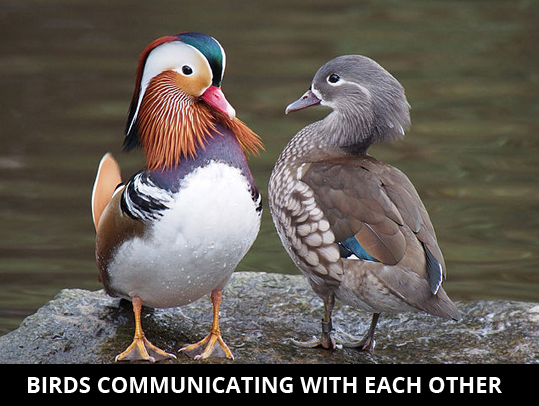Birds-communicating-with-each-other