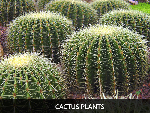 Thanks To Its Ability Water The Cactus Can Live For Over A Year Without Rain