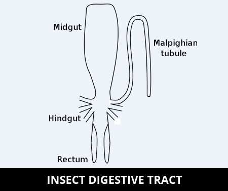 insect digestive tract