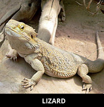 Note Get Your Lizard Worksheets For Free Here