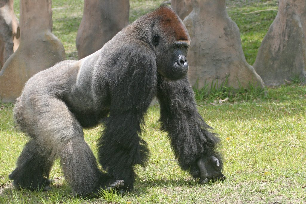 knuckle walking gorilla