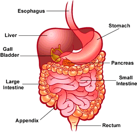 digestive system facts
