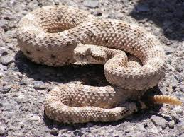 rattlesnake-facts