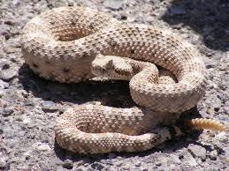 rattlesnake-facts