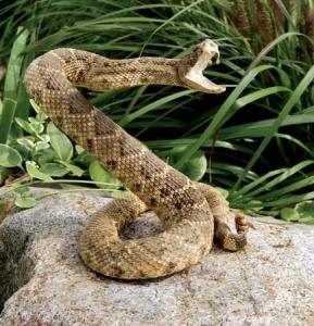 rattlesnake-attack-defend