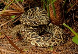 rattlesnake-diamondback