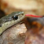 rattlesnake-venom