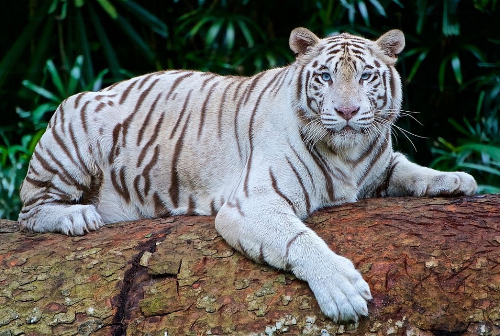 White Tiger Facts Cool Kid Facts