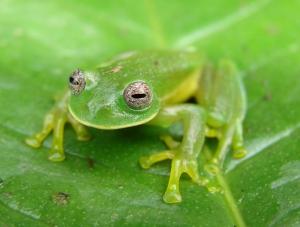 glass-frog