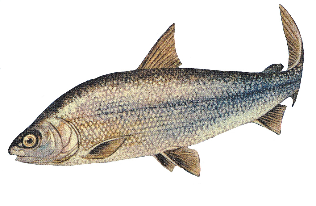lake-whitefish