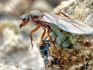 queen-ant