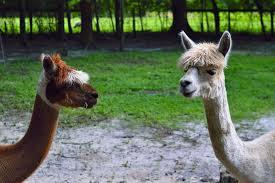 alpacas-for-kids