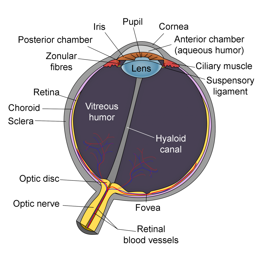 diagram-human-eye