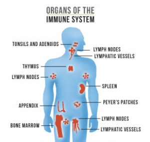 immune-system-organs