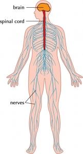 nervous-system-facts
