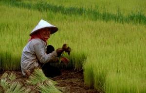 rice-southern-china