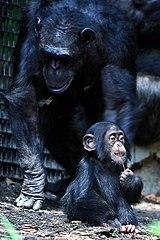 chimpanzee-baby