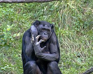 chimpanzee-facts