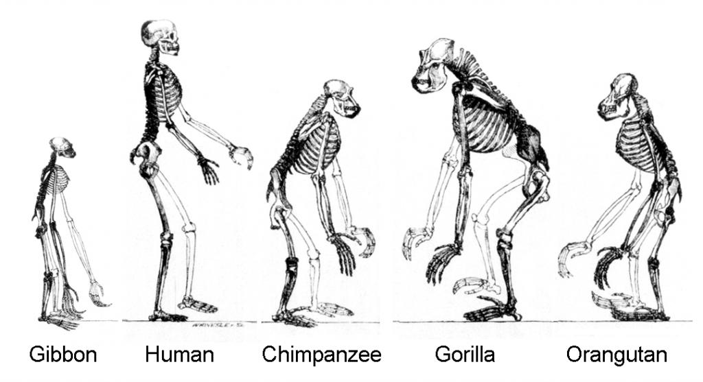 chimpanzees-humans-DNA