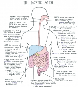 Digestive System Facts Cool Kid Facts