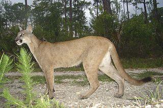 florida-panther