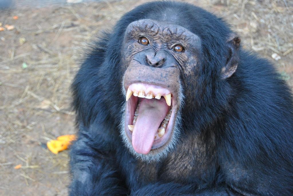hoots-screams-chimps