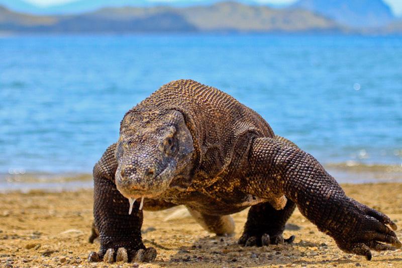 komodo-dragon-facts