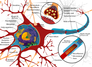 neuron-diagram