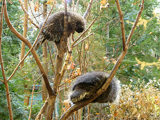 north-american-porcupines