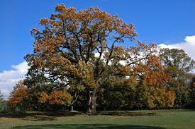 oak-trees-from-nuts