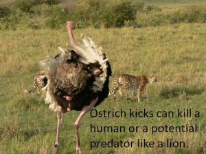ostrich-kick-dangerous