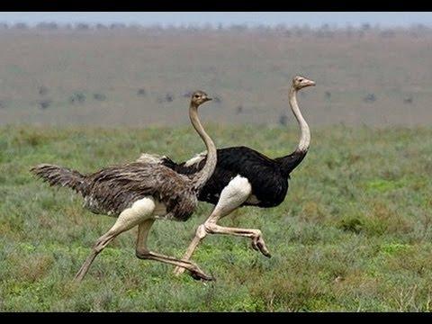 ostriches-running