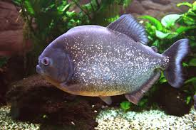 piranha-facts