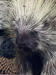 porcupine-facts