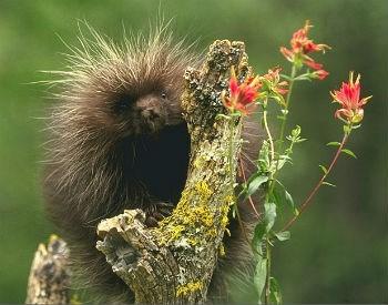 porcupines-herbivores