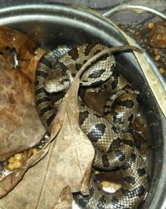 pygmy-python